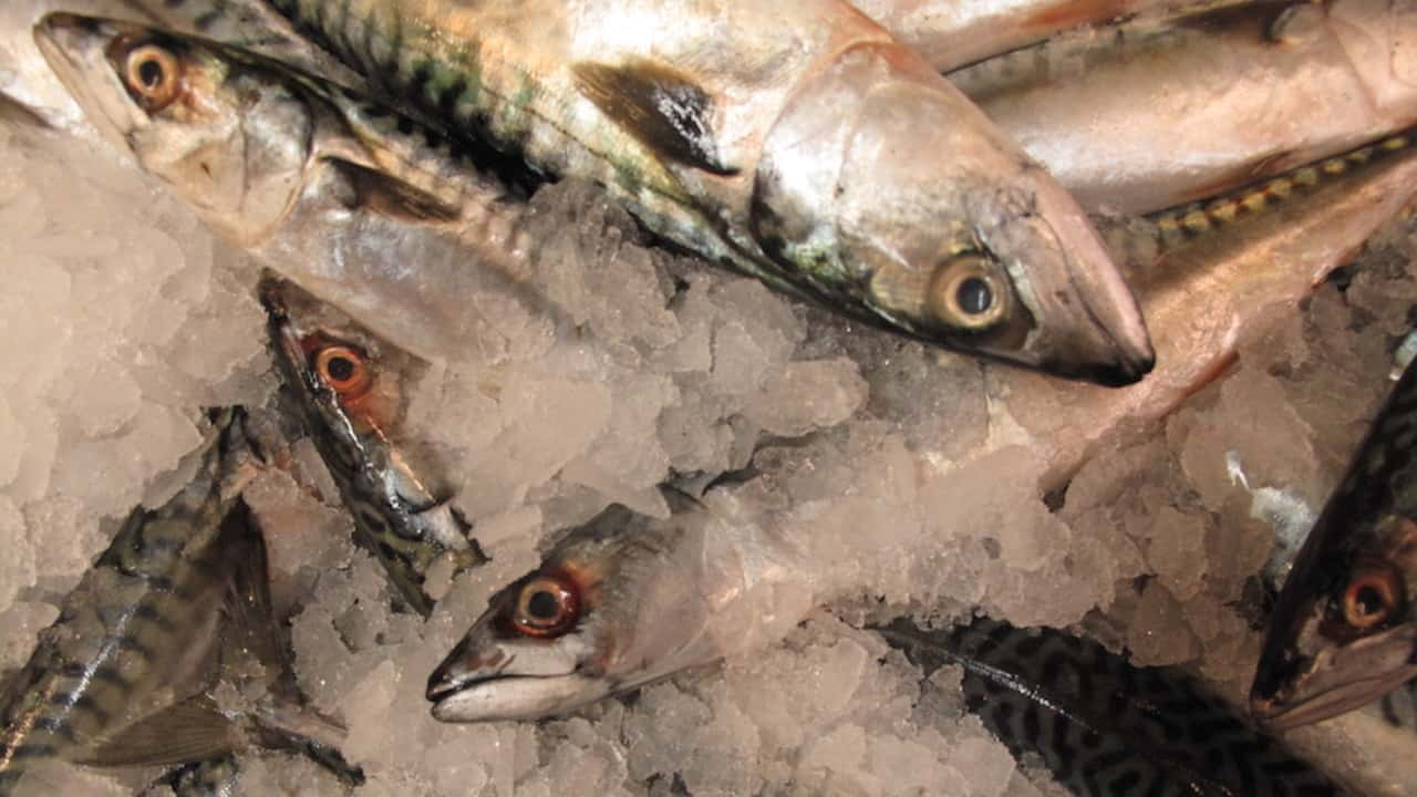 Read more about the article Norway and the Faroes agree mutual access for mackerel