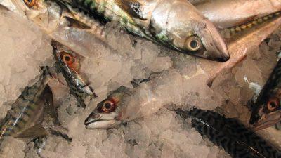 30-tonne mackerel haul in a bottom trawl
