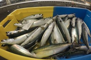 Mackerel and herring are an ideal healthy eating option for anyone looking out for a New Year's Resolution - @ Fiskerforum