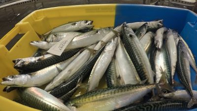 Scottish mackerel and herring on your New Year menu