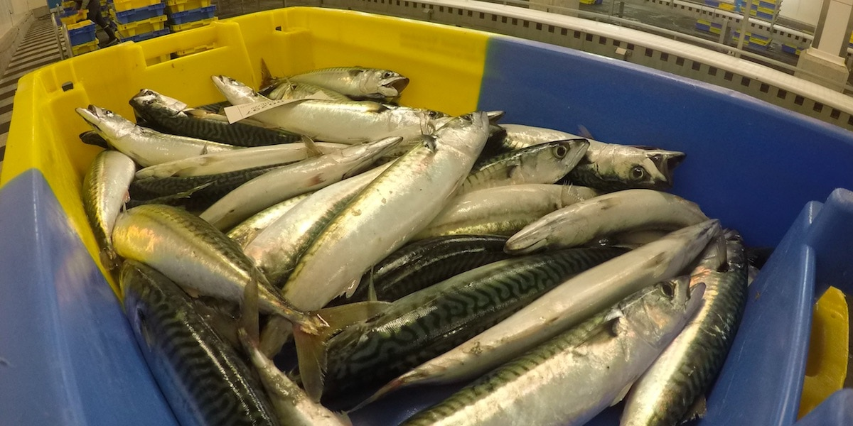 SPFA welcomes NE Atlantic mackerel stock review