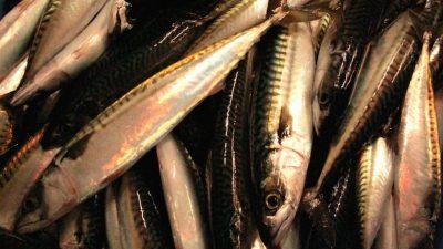 Iceland's mackerel hike