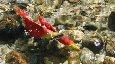 Mining venture could threaten sockeye