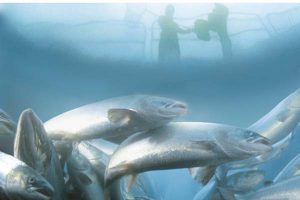 Big catch for CodeIT AS.  Photo: Fish boxes - Marine Harvest - @ Fiskerforum