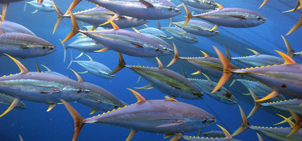 Europêche files anti-dumping complaint over Chinese tuna exports