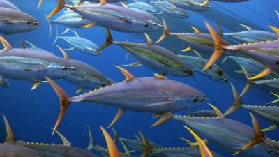 New alliance for Indonesian one-by-one tuna