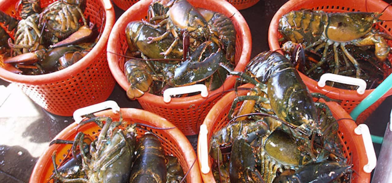 NFI welcomes opening EU lobster market