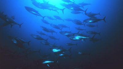 Bluefin management must directly benefit coastal artisanal fleets