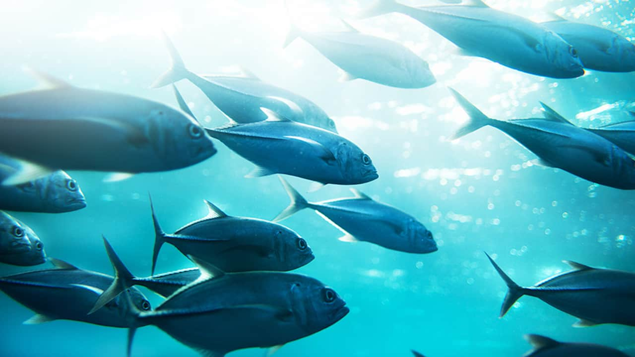 Read more about the article 87% of tuna from healthy stocks, 10% need stronger management
