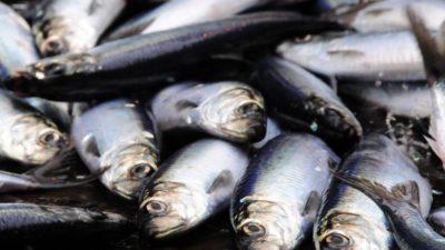 Increased 2019 quotas advised for Atlanto-Scandian herring