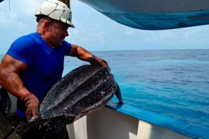 Returning a turtle to the water on board a Spanish purse seiner. Image: OPAGAC - @ Fiskerforum