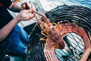 Ferguson Australia is a major processor and exporter of Southern Rock Lobster. Image: Robert Lang - @ Fiskerforum