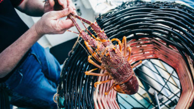 Strong start to Aussie lobster season feeds China's appetite for premium seafood