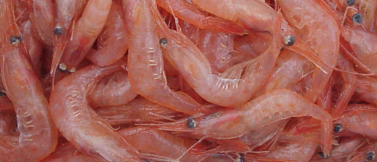 Flemish Cap northern shrimp fishery re-opens