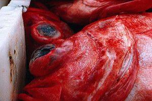 3LN Redfish is now MSC certified - @ Fiskerforum
