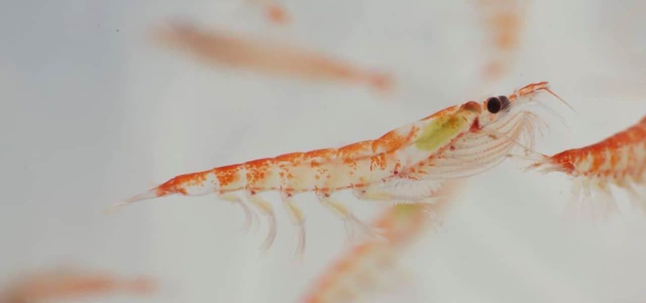 Research into krill as protein source