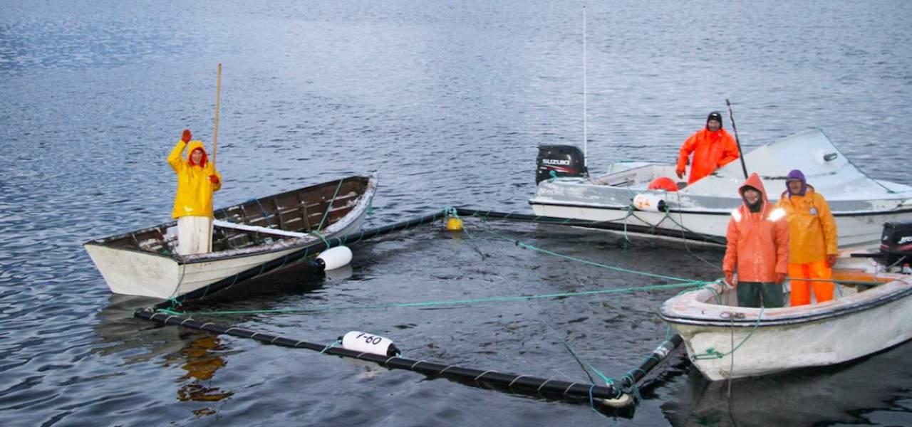 Greenland's live cod season