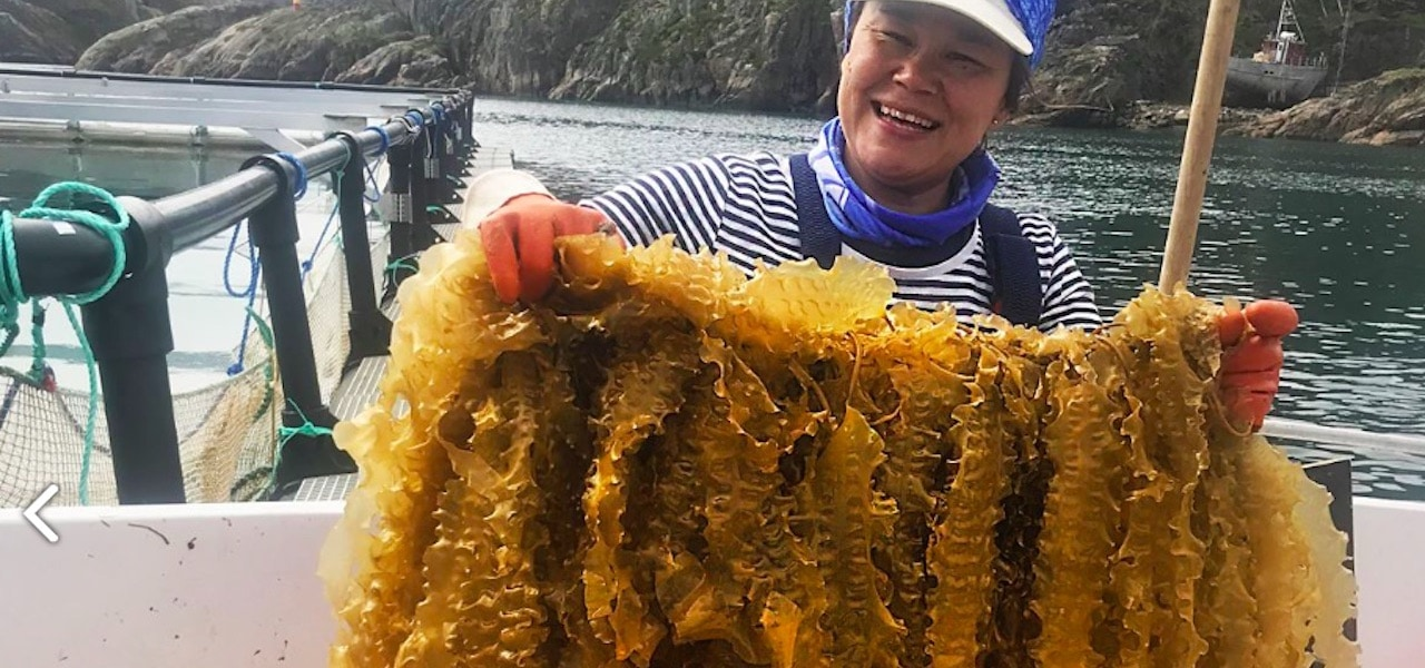 Successful Kelp Harvest in Greenland