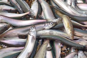 The current Barents Sea capelin fishery is so far as good as the last season in 2015 - @ Fiskerforum