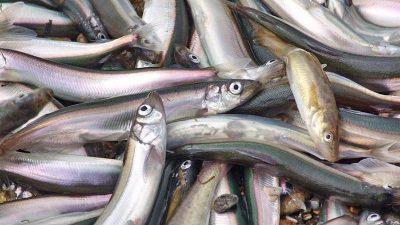 Russian capelin fishery hits 30,000 tonnes