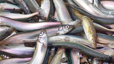 Barents Sea capelin catch hits 6000 tonnes