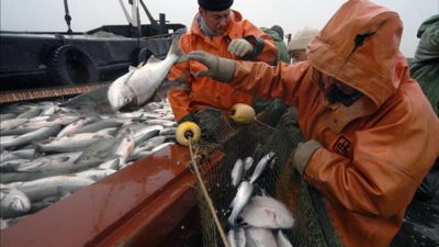 Record Far East salmon season expected