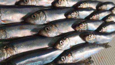 Scottish pelagic fishermen spearhead marine research
