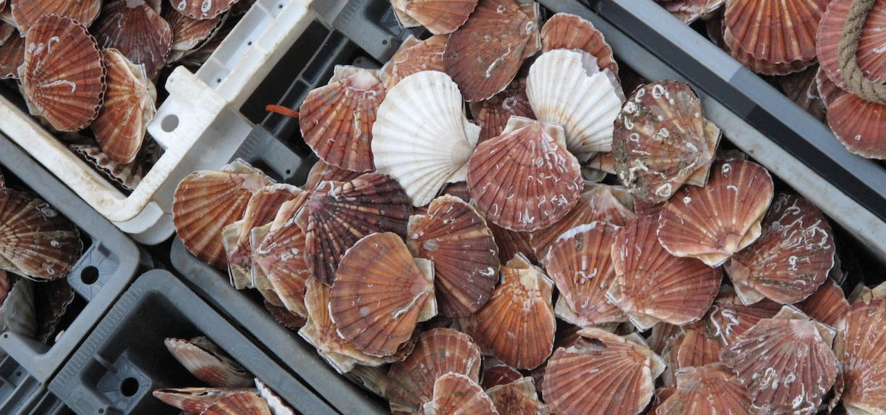 Baie de Seine Scallops Wars ruled out for this year