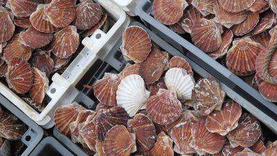 Fines for undersized scallops