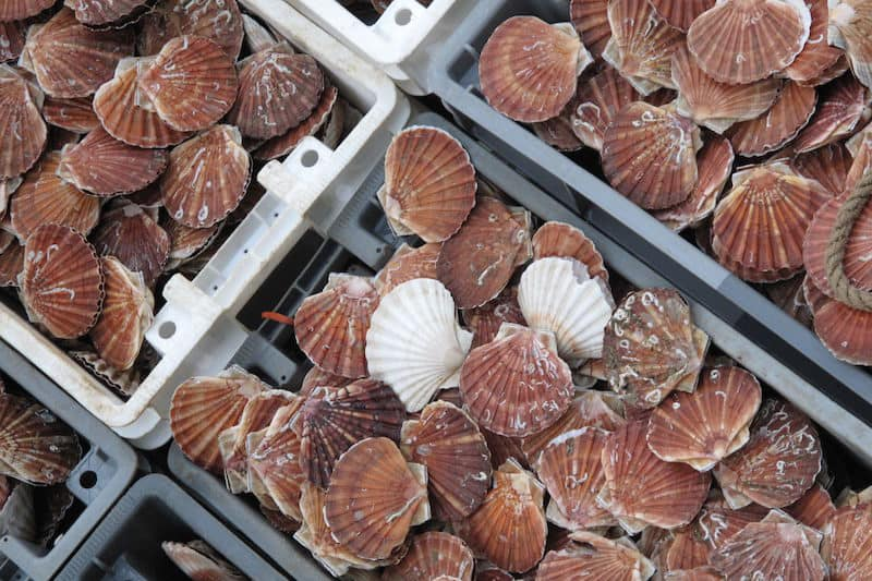 Fines for undersized scallops