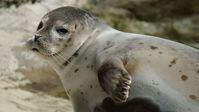 Seeking options for non-lethal seal deterrents