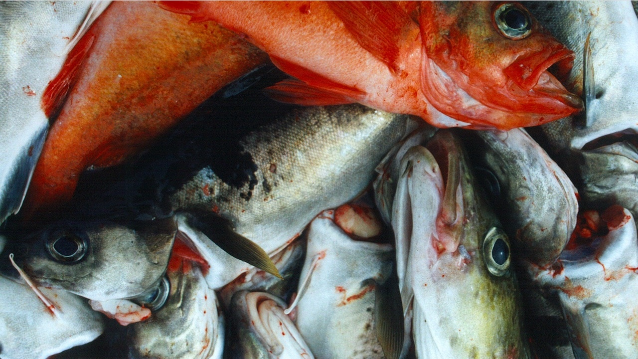 Scientists recommend reduced Barents Sea cod quota – but increases for haddock and saithe