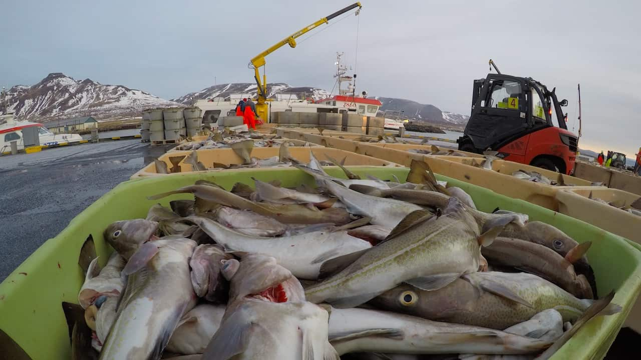 Icelandic operators federation backs cod cut advice