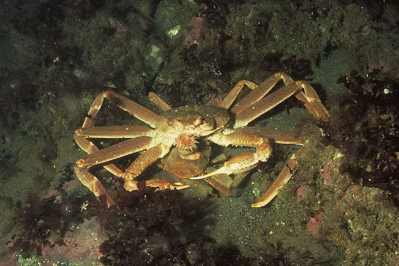 Norway's supreme court rules – snow crabs are Norwegian
