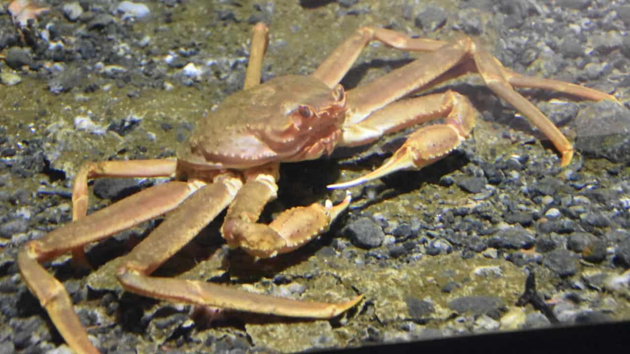 Norway increases 2021 snow crab quota