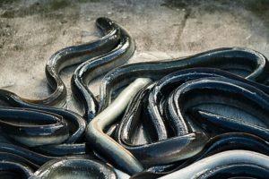 Sweden expects to introduce a three-month eel ban next winter. Photo: Lars Torstensson / IBL Bildbyrå - @ Fiskerforum