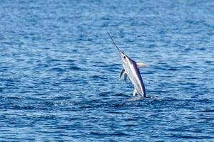 Towards swordfish stock recovery in the Mediterranean - @ Fiskerforum