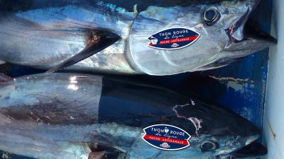 Artisanal French bluefin tuna fishery enters MSC assessment