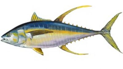 IOTC to propose reduced yellowfin fishery