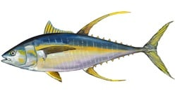 Read more about the article Maldives pole and line yellowfin certification suspended