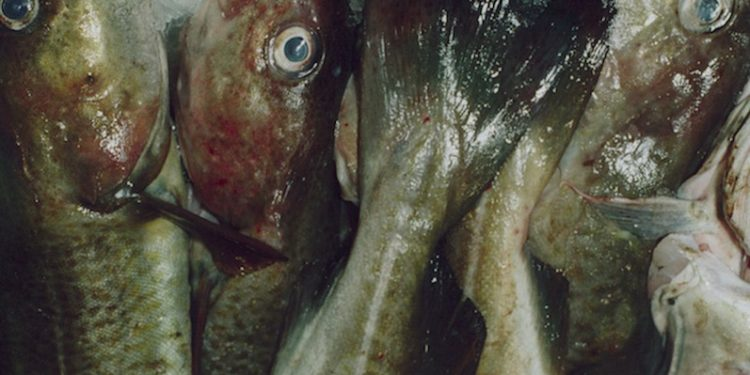 The demersal discard ban comes into force on the 1st of January - @ Fiskerforum