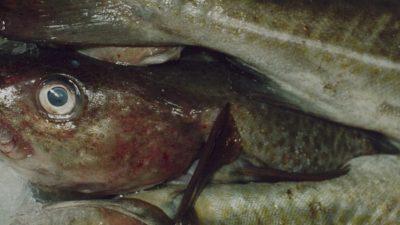 German fishermen slam EU Commission's Baltic cod measures