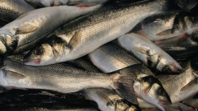 Line boats fear imminent French bass fishery closure