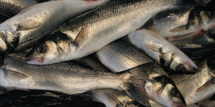 Small-scale French bass fishermen expect a closure to be imposed any day - @ Fiskerforum