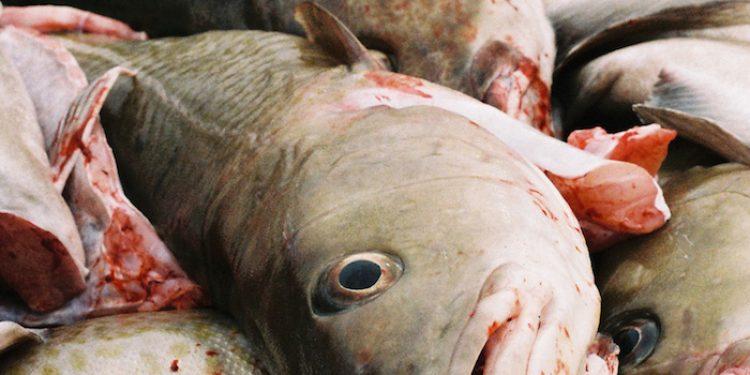 Gadhus morhua - @ Fiskerforum