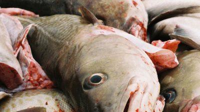 Cuts for western Baltic cod