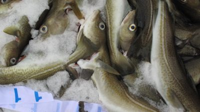 North Sea cod quota slash advised