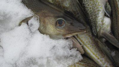 Atlantic cod on US danger list