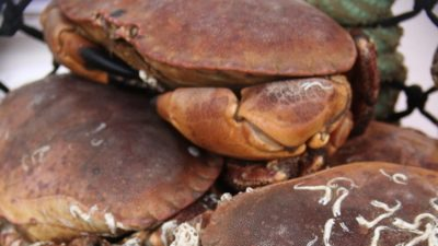 Open season on Shetland shellfish