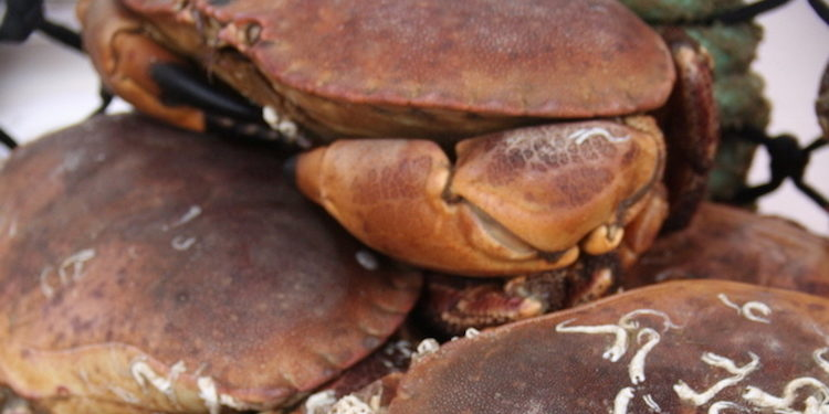 Shetland has the only MSC certified brown crab fishery in the world - @ Fiskerforum